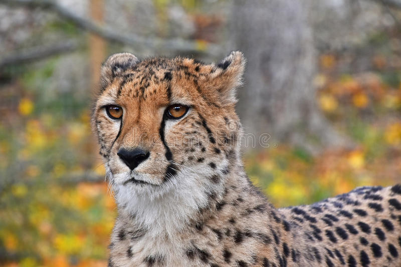 Chiuda sul ritratto del ghepardo immagine stock libera da diritti