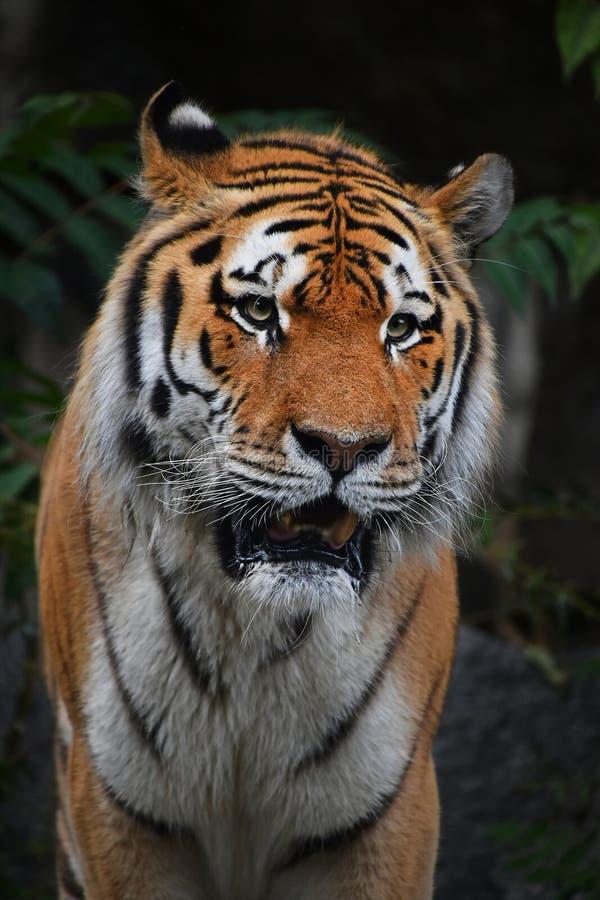 Chiuda sul ritratto del maschio maturo della tigre siberiana fotografia stock