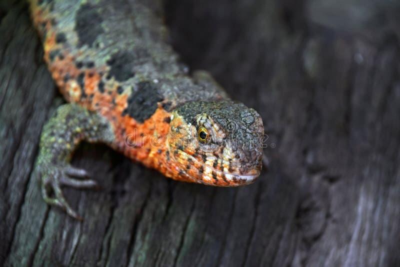 Chiuda sul ritratto della lucertola cinese del coccodrillo immagine stock