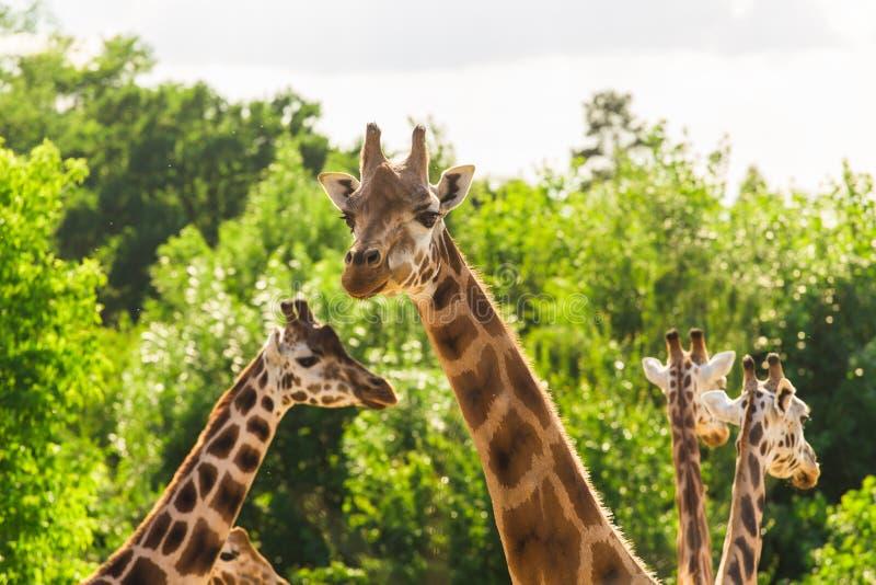 Chiuda sul ritratto delle giraffe fotografia stock