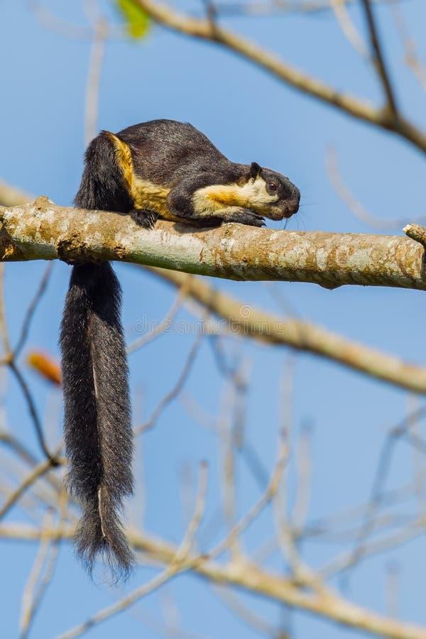 Chiuda sul ritratto dello scoiattolo gigante nero fotografia stock libera da diritti