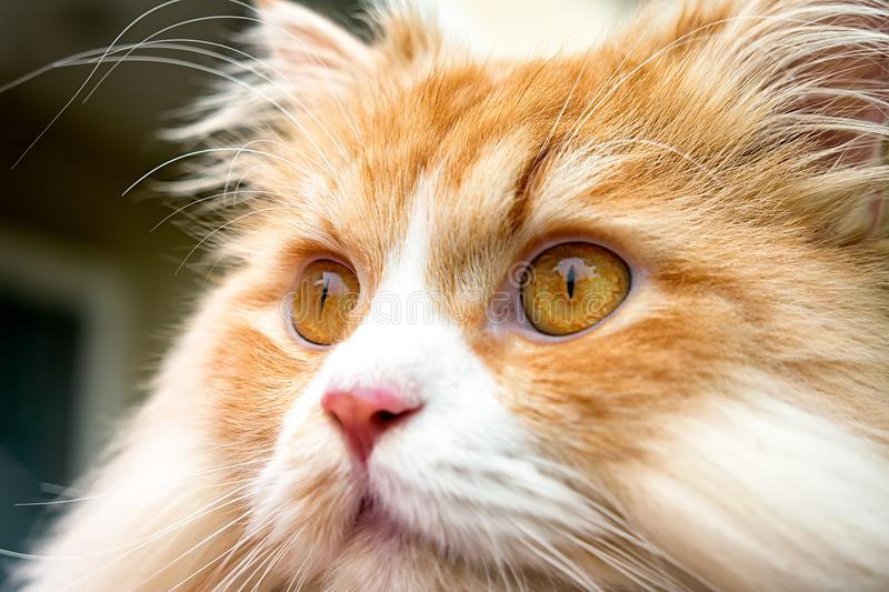 Chiuda sul ritratto di Tabby Colored Persian Cat Outdoor arancio fotografia stock