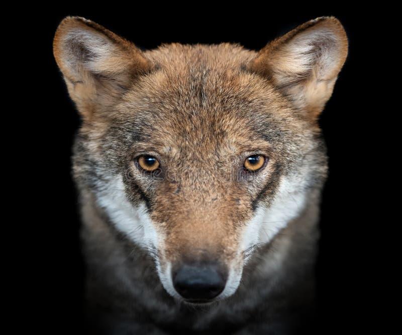 Chiuda sul ritratto di un lupo grigio Canis Lupus immagine stock libera da diritti