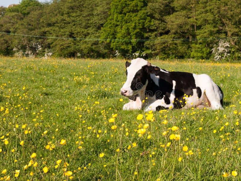 chiuda sul ritratto e sulla mucca da latte in bianco e nero in PS del campo dell'azienda agricola fotografie stock libere da diritti