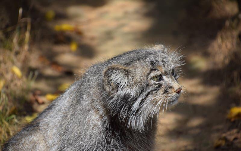 Chiuda sul ritratto laterale di profilo del gatto di Pallas del manul immagini stock libere da diritti