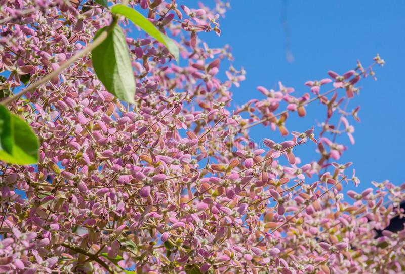Chiuda sul roxb di tomentosa di congea, orchidea della doccia è rosa dello scalatore immagini stock libere da diritti