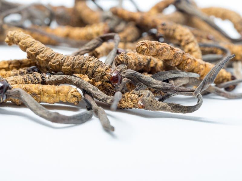 Chiuda sul sinensis CHONG CAO, DONG CHONG XIA CAO di Ophiocordyceps o i cordyceps del fungo questo è erbe Proprietà medicinali in immagini stock libere da diritti