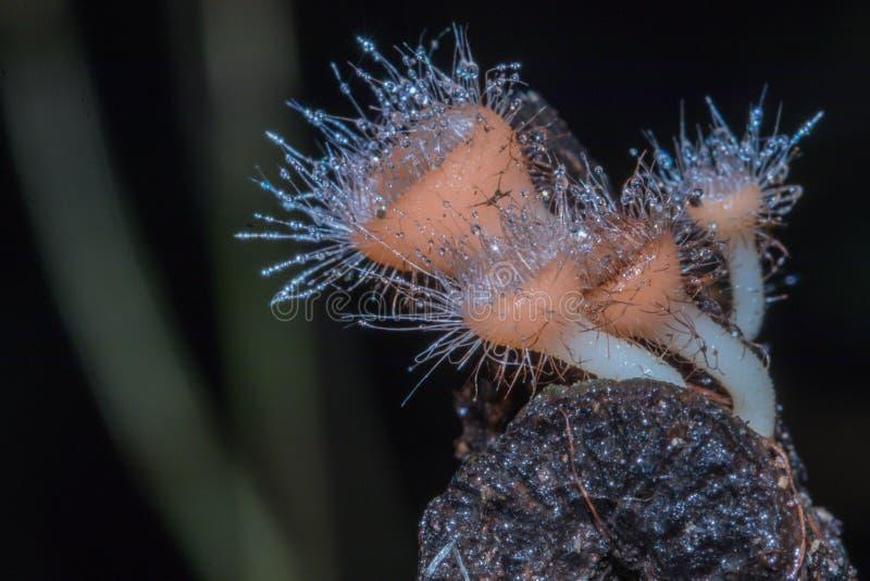 Chiuda sul tricoloma di Cookeina o sul filo Ascomycota, funghi arancio nei precedenti della natura immagini stock