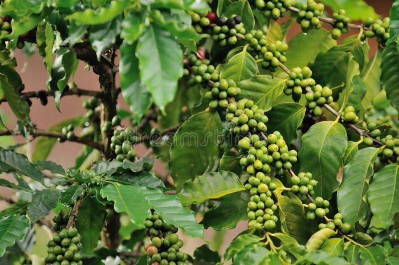 Chiuda sull'albero delle piante del caffè immagine stock libera da diritti