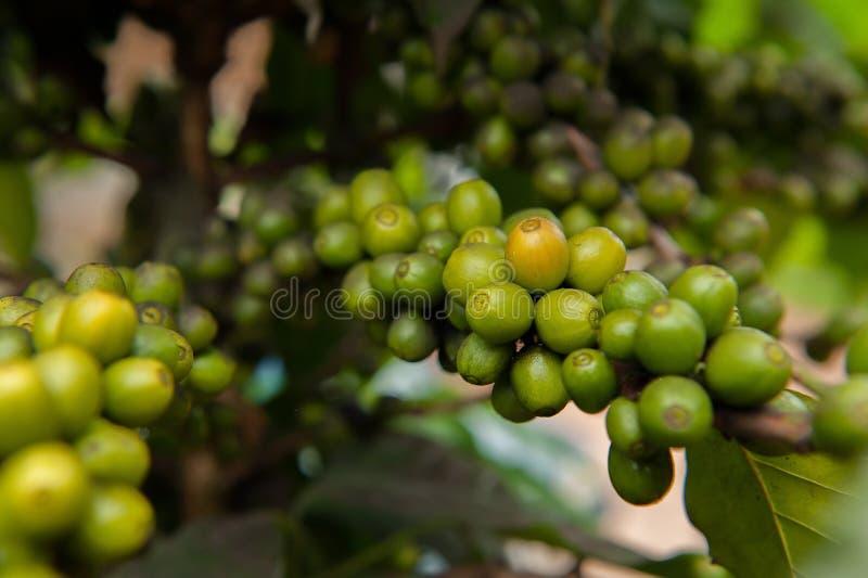Chiuda sull'albero delle piante del caffè fotografie stock libere da diritti