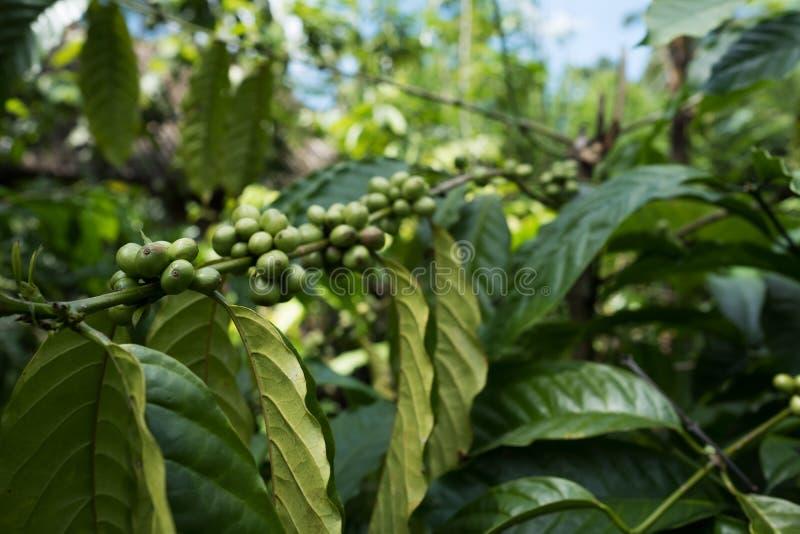 Chiuda sull'albero delle piante del caffè in piantagione, Bali immagini stock
