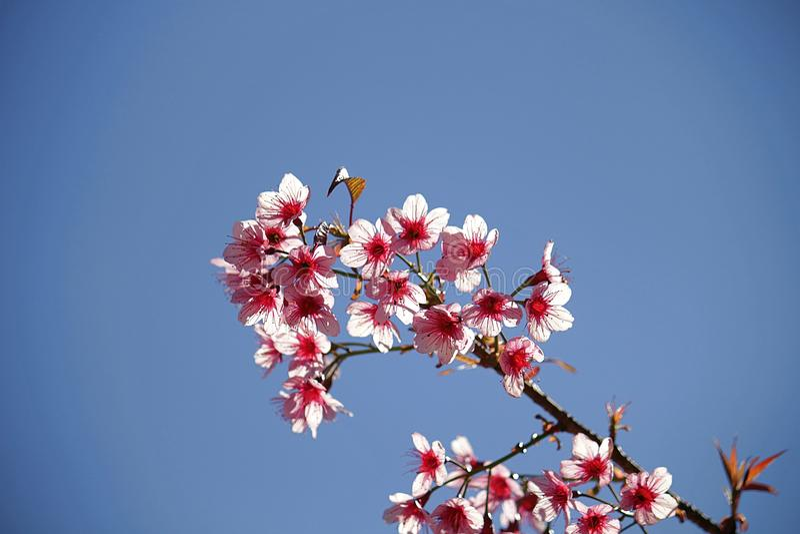 Chiuda sull'immagine dei fiori dei mazzi di sakura e del fondo tailandesi del cielo blu immagine stock