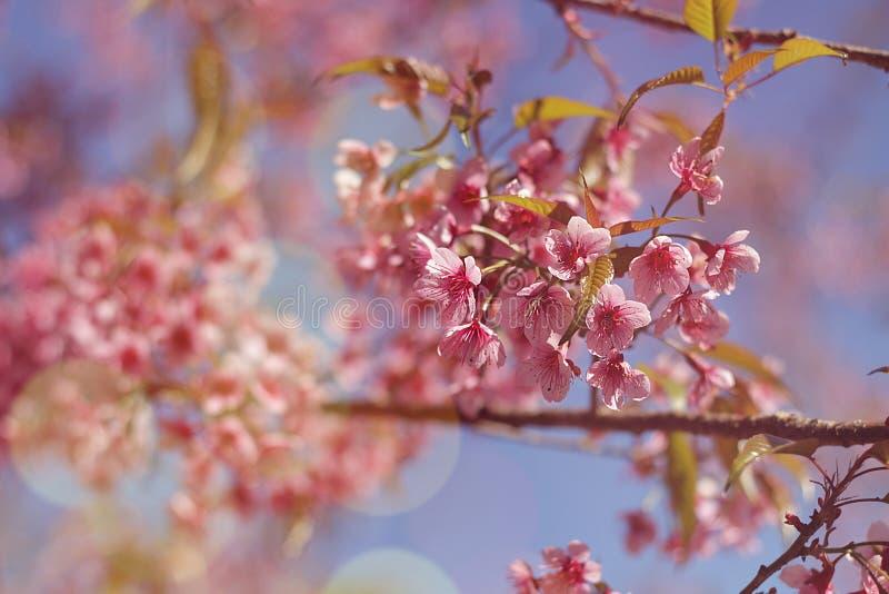Chiuda sull'immagine dei fiori dei mazzi di sakura e del fondo tailandesi del cielo blu immagini stock libere da diritti