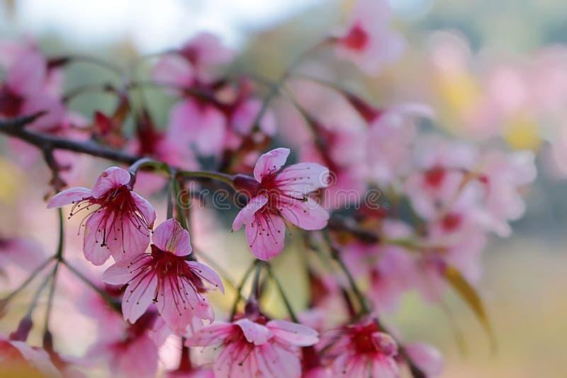 Chiuda sull'immagine dei fiori dei mazzi di sakura e del fondo tailandesi del cielo blu fotografia stock libera da diritti