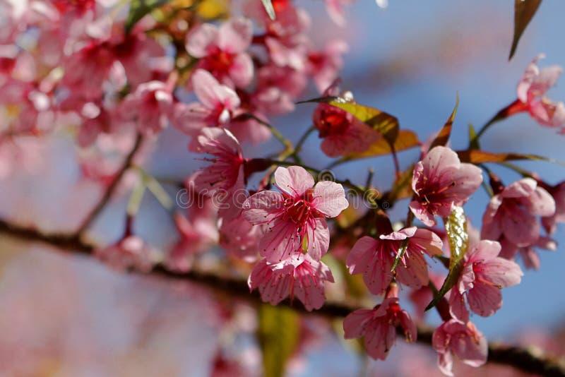Chiuda sull'immagine dei fiori dei mazzi di sakura e del fondo tailandesi del cielo blu immagine stock libera da diritti