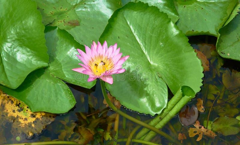 Chiuda sull'immagine del rosa waterlily fotografia stock