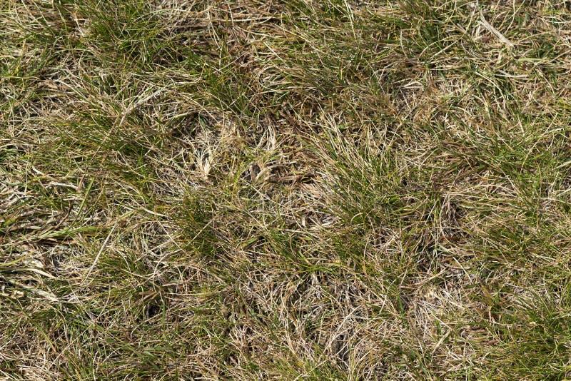 Chiuda sull'immagine dell'estratto di vista superiore del campo di erba selvatica giallo asciutto stagionato con alcune lame verd fotografie stock