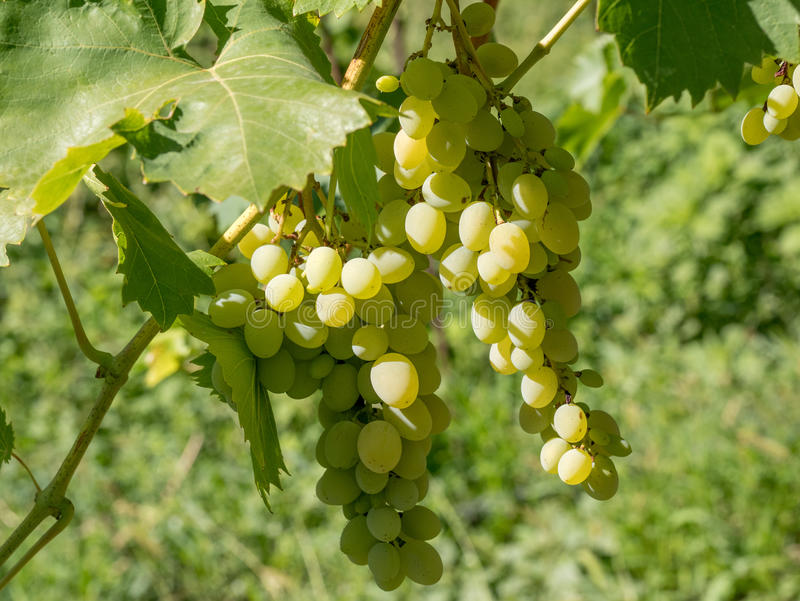 Chiuda sull'immagine di un mazzo di uva verde appesa dal ramo immagine stock libera da diritti