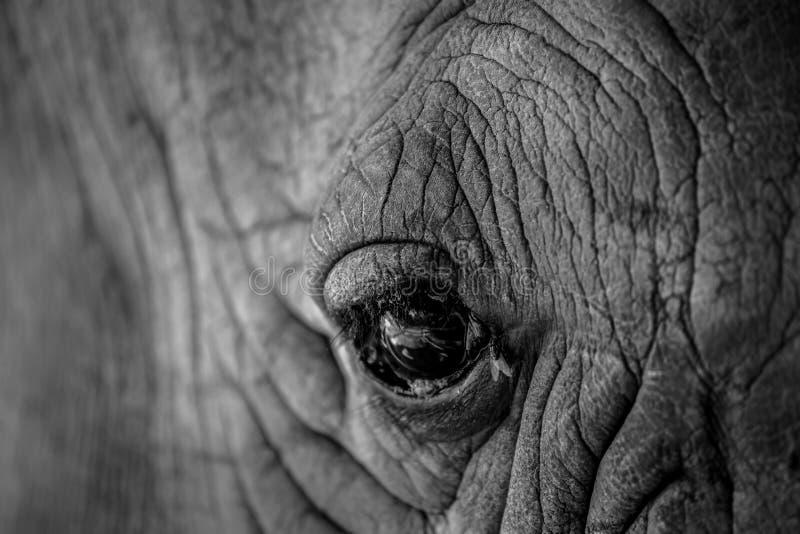 Chiuda sull'occhio di rinoceronte fotografia stock