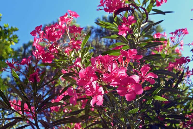 Chiuda sull'oleandro di rosa di vista o sul fiore del Nerium che sboccia sull'albero fotografia stock libera da diritti