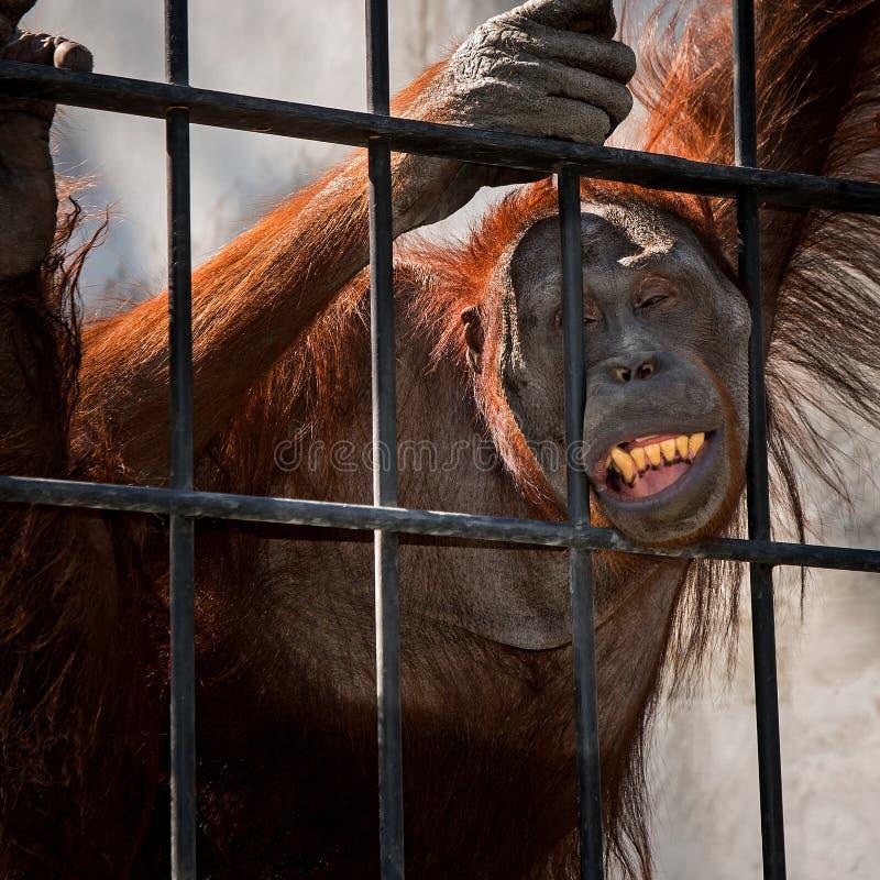 Chiuda sull'orangutan immagini stock