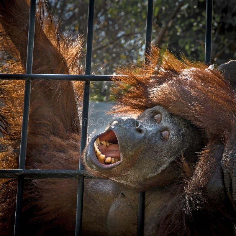 Chiuda sull'orangutan fotografie stock