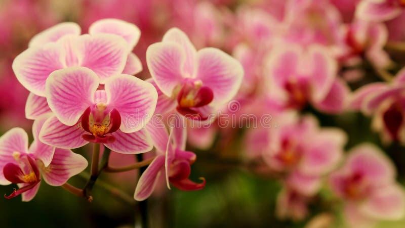 Chiuda sull'orchidea rosa mini bella di fioritura del ` di phalaenopsis del ` in giardino floreale variopinto fotografie stock