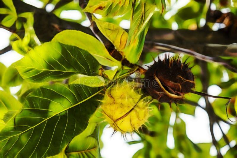 Chiuda sulla castagna d'India sui rami di albero in natura fotografia stock libera da diritti