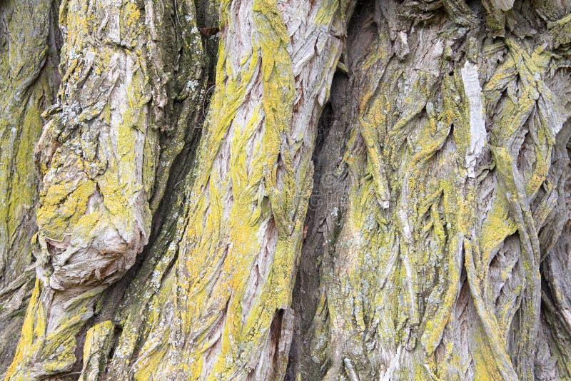 Chiuda sulla corteccia di albero del salice immagine stock libera da diritti