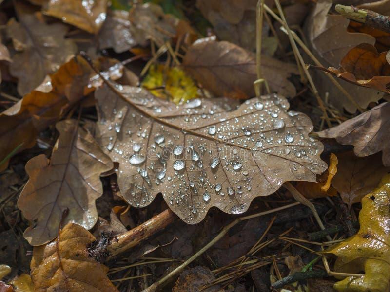 Chiuda sulla foglia bagnata caduta della quercia sulla foresta frantumata alla luce i di mattina fotografia stock