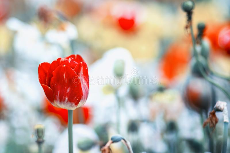 Chiuda sulla foto d'annata del tulipano rosso, macro colpo del germoglio in giardino È bello fondo della natura con il fiore e va immagini stock