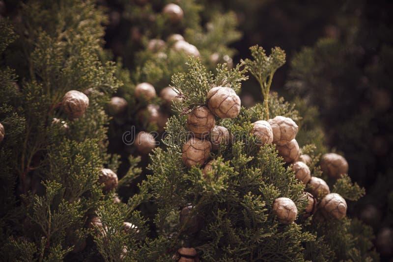 Chiuda sulla foto dei coni mediterranei dell'albero di cipresso immagine stock libera da diritti