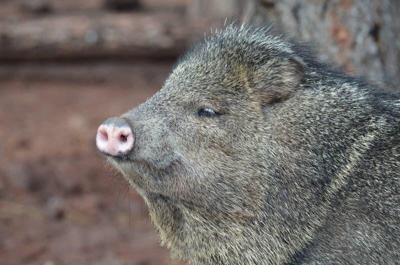 Chiuda sulla foto del fronte di un maiale di javerline immagini stock libere da diritti
