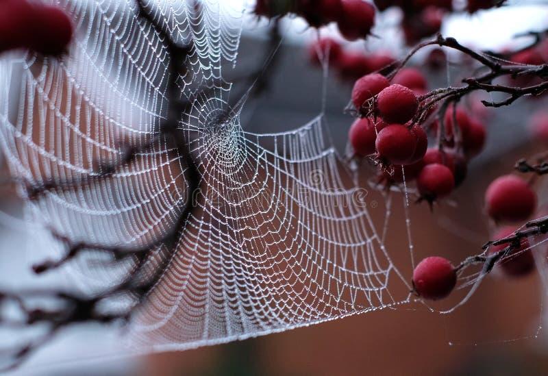 Chiuda sulla foto del web del ` s del ragno con le gocce di rugiada che pendono da di melo rosso del granchio nell'autunno fotografia stock