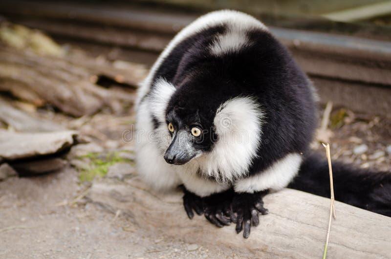 Chiuda sulla foto delle lemure in bianco e nero fotografia stock