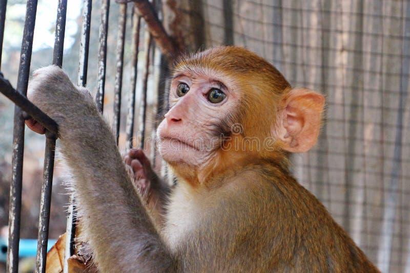 Chiuda sulla foto di giovane scimmia di Brown fotografie stock