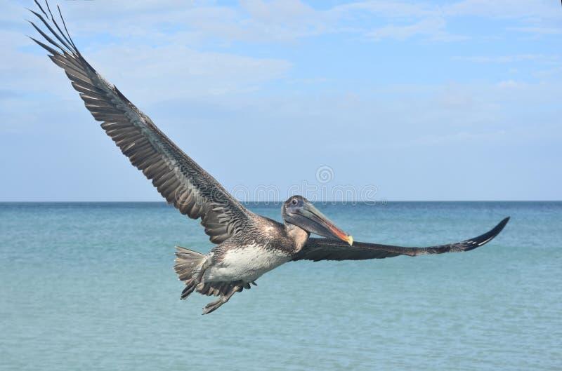 Chiuda sulla foto di un volo del pellicano attraverso il cielo fotografie stock libere da diritti