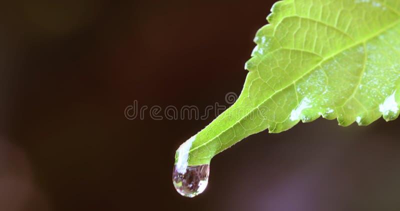 Chiuda sulla goccia di pioggia dell'acqua su una foglia verde fresca fotografia stock