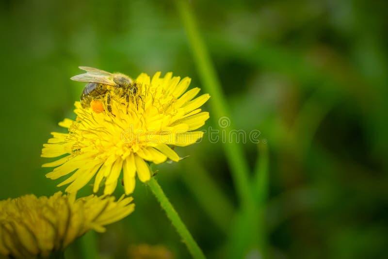 Chiuda sulla macro dell'ape che raccoglie il polline sul taraxacum officinale giallo di fioritura del fiore del dente di leone fotografia stock libera da diritti