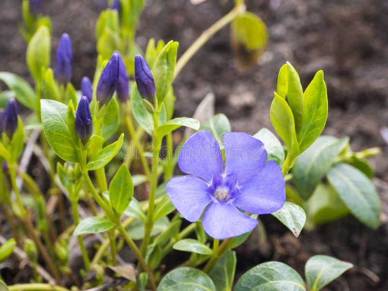 Chiuda sulla macro della pianta nana comune della vinca, minore della vinca Fiori blu delicati e luminosi della vinca in soleggia immagini stock libere da diritti