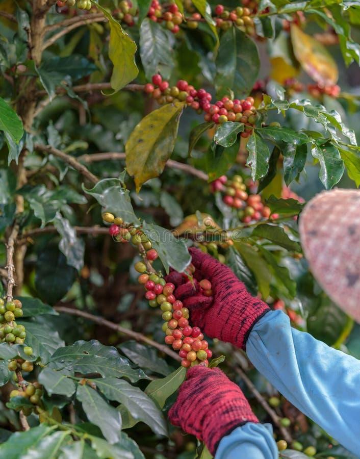 Chiuda sulla mano degli agricoltori che selezionano il ramo delle bacche di caffè Arabica immagine stock libera da diritti