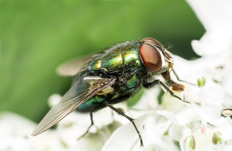 Chiuda sulla mosca della casa sul fiore bianco immagini stock libere da diritti