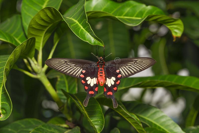 Chiuda sulla pancia del aristolochi comune di Rose Butterfly Pachliopta fotografie stock