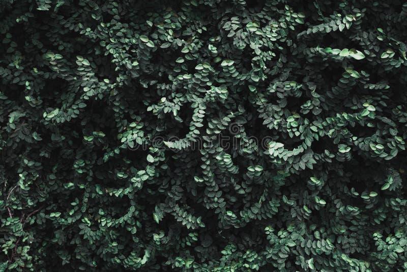 Chiuda sulla parete verde scuro tropicale del fogliame della foglia ad all'aperto Abstra fotografia stock
