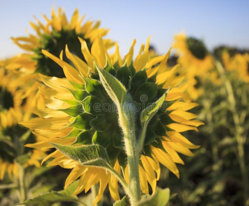 Chiuda sulla retrovisione dei girasoli gialli nel campo dell'agricoltura immagini stock libere da diritti