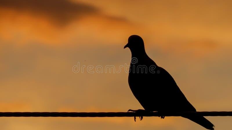 Chiuda sulla siluetta di un piccione che si siede tranquillamente immagini stock libere da diritti
