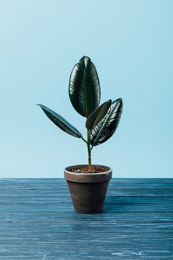 chiuda sulla vista della pianta di ficus in vaso da fiori su superficie di legno fotografie stock