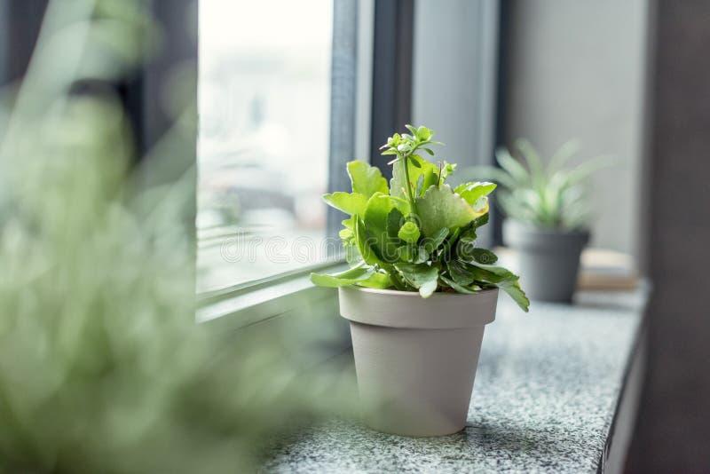 chiuda sulla vista della pianta verde in vaso da fiori sul davanzale fotografia stock