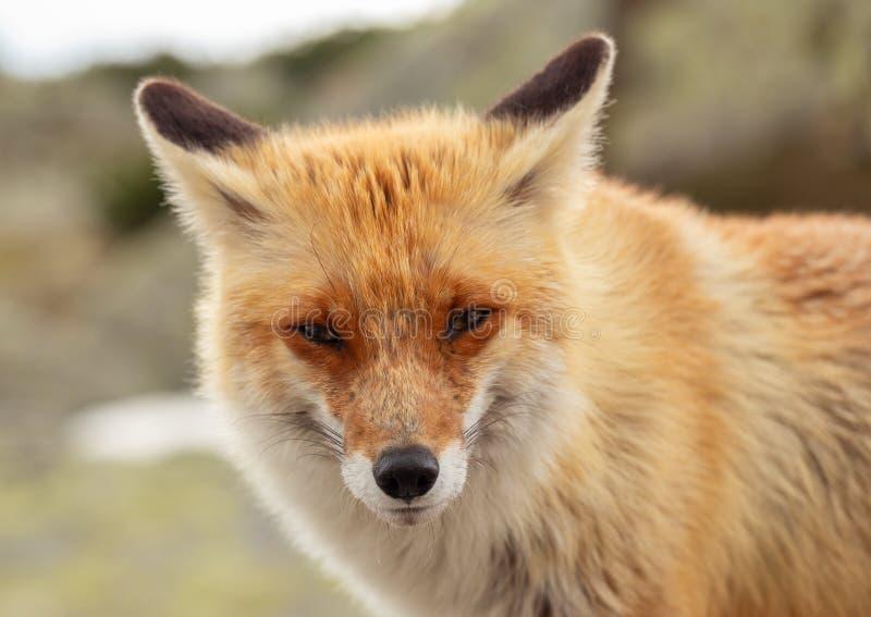 Chiuda sulla volpe rossa nel selvaggio sulla natura con il fondo della sfuocatura immagini stock