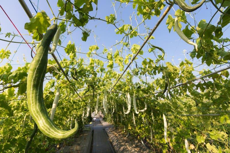 Chiuda sulla zucca di luffa o sulla zucca del serpente che cresce nell'azienda agricola dell'agricoltura della pianta del campo fotografie stock